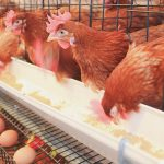 Deploying QuickBooks For A Poultry Farmers